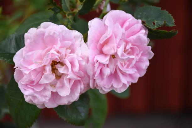 Pink roses closeup stock photo
