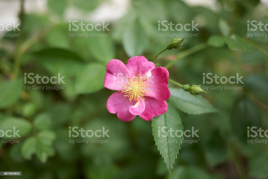 Pink roses closeup