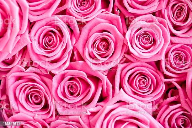 Pink roses dew picture id183847611?b=1&k=6&m=183847611&s=612x612&h=gtvkl2yikzcjsszabb zkm3gdlijjtbg0owz xa vow=