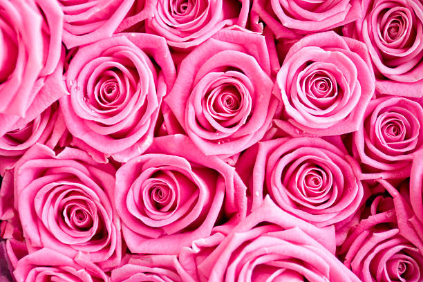 Pink Roses Dew stock photo