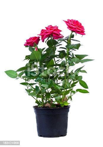 Red rose in flower pot isolated on whitehttp://farm6.static.flickr.com/5098/5396212079_98c83b52d8_o.jpg