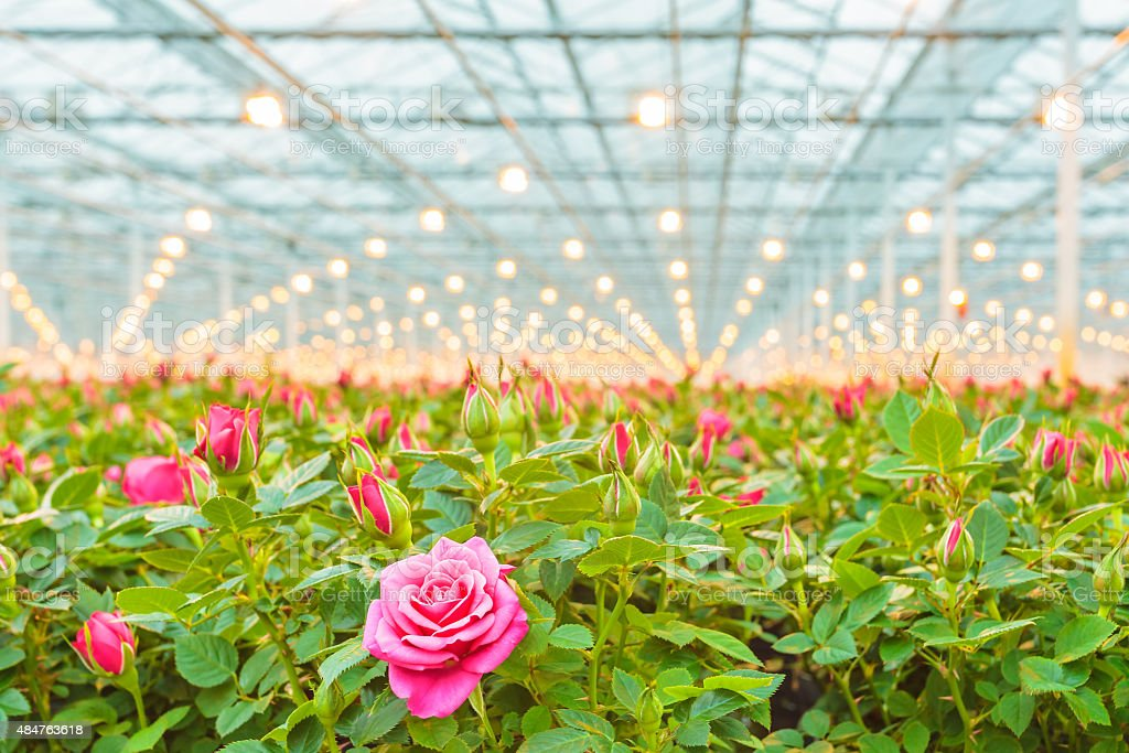 Pink roses in a Dutch greenhouse stock photo