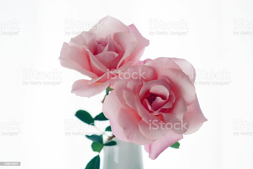 Pink roses in a vase royalty-free stock photo