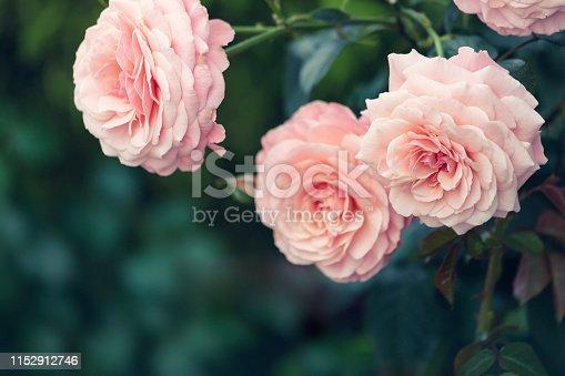 Beautiful pink roses in bloom.