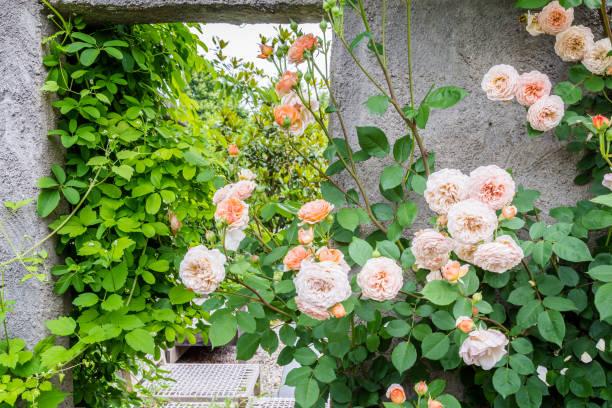 Roze rozen voor een muur foto