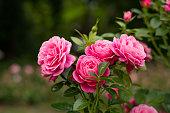 istock Pink roses in garden 1256125259