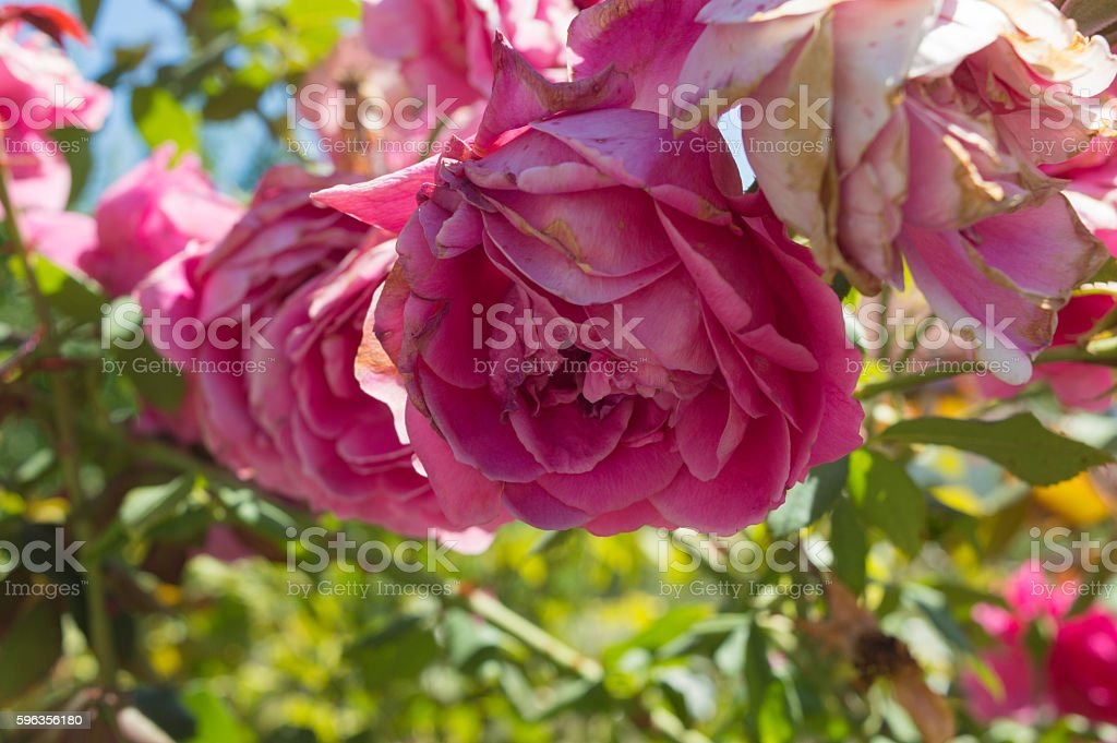 Pink roses in garden royalty-free stock photo