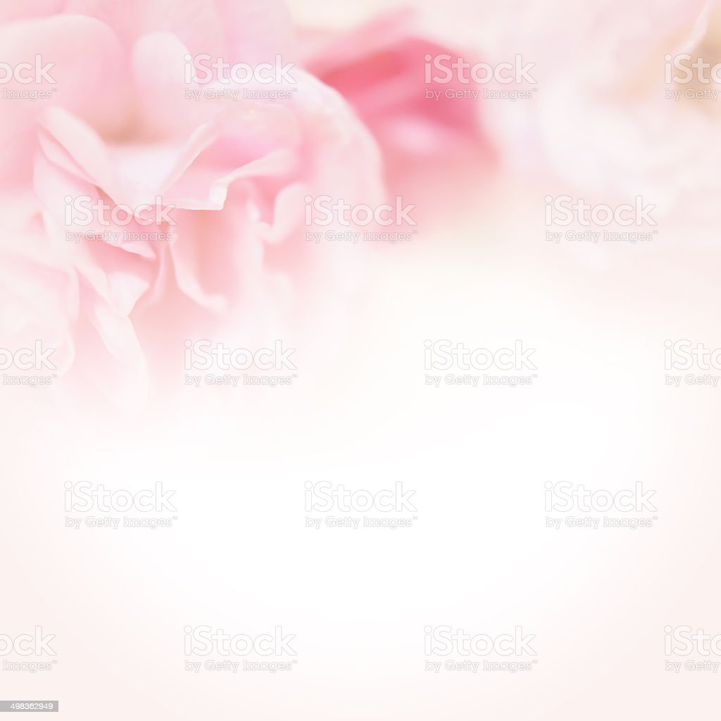 pink roses in soft color style stock photo