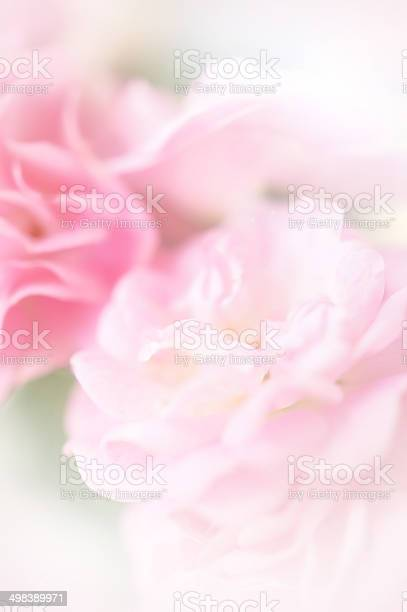 Pink roses in soft color style picture id498389971?b=1&k=6&m=498389971&s=612x612&h=c2m7d7kqa64xb zukupkdjcecurrjwrqr5q6nphr1ly=