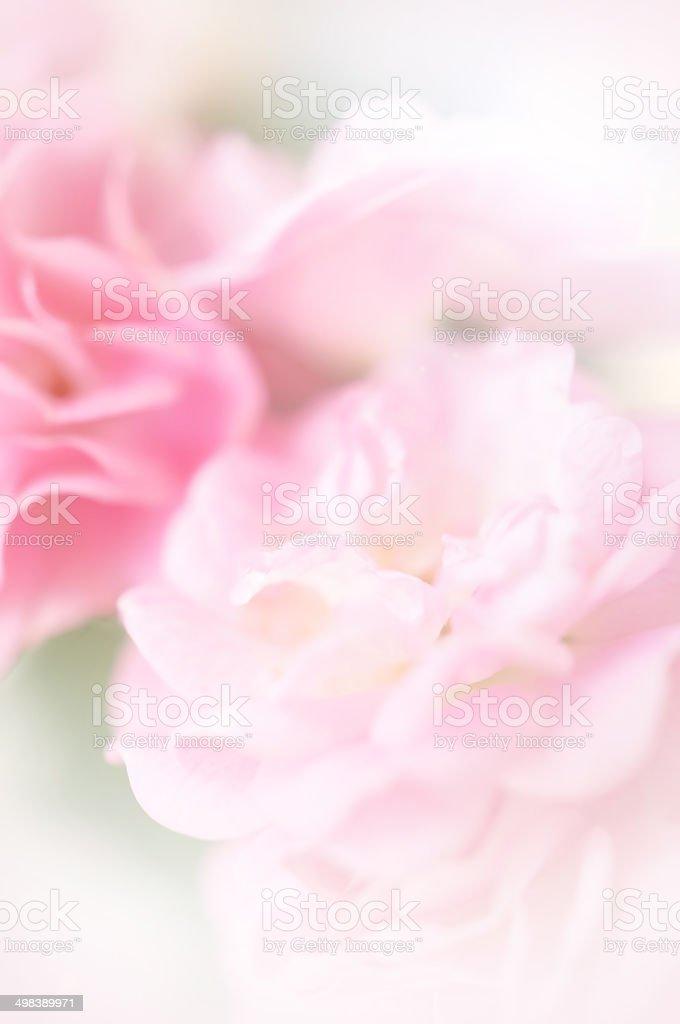 Couleur rose de roses dans un style - Photo