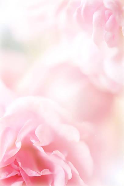 Pink roses in soft color style picture id498397465?b=1&k=6&m=498397465&s=612x612&w=0&h=skvupmkdtlib9phi4qdw3pslyxrxvr4hq1vzk0qilac=