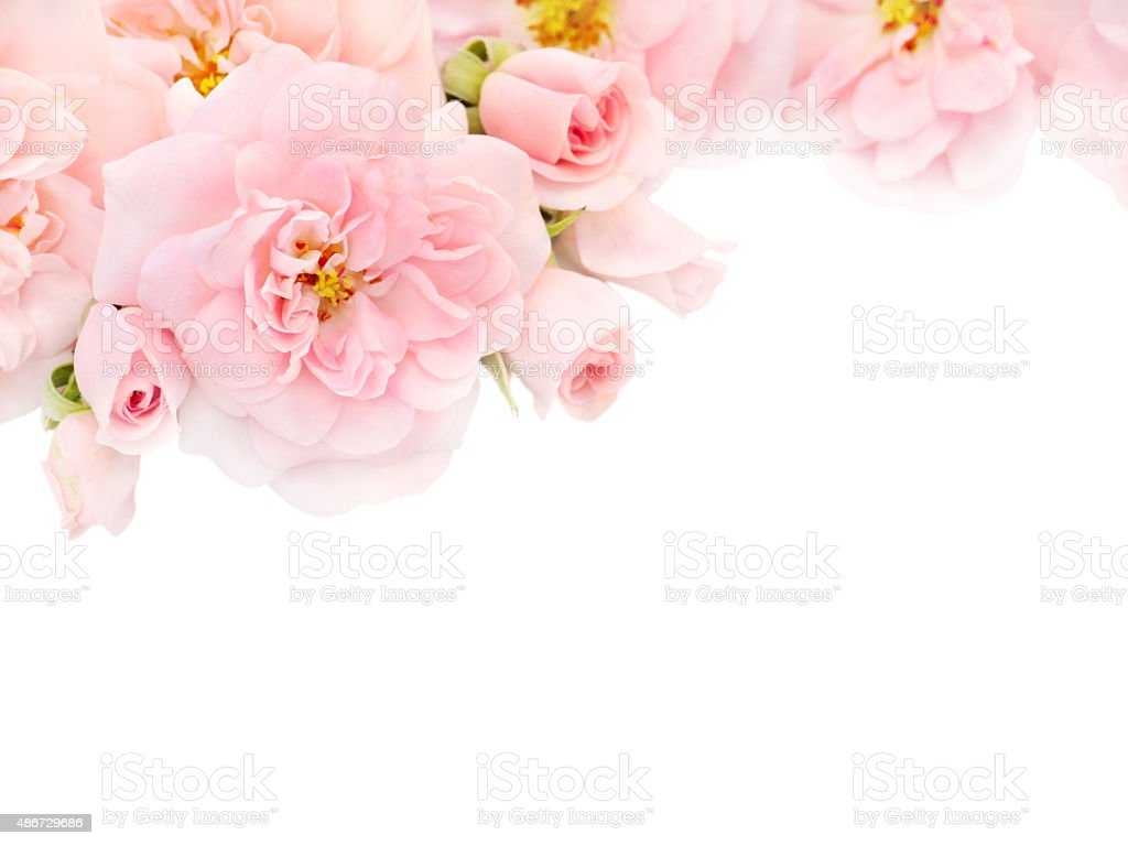 pink roses in the corner of the white background stock