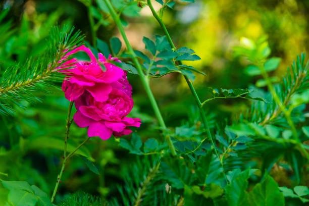 Pink roses in the garden picture id1188629838?b=1&k=6&m=1188629838&s=612x612&w=0&h=du9whwibyujlgszv76sbtigw2fgaigrgfhy9scvimhw=