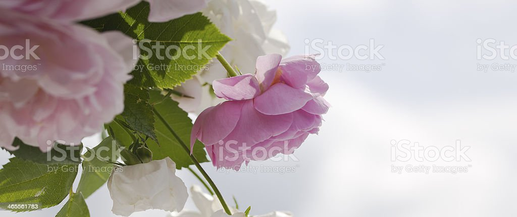 Pink roses in the garden. royalty-free stock photo