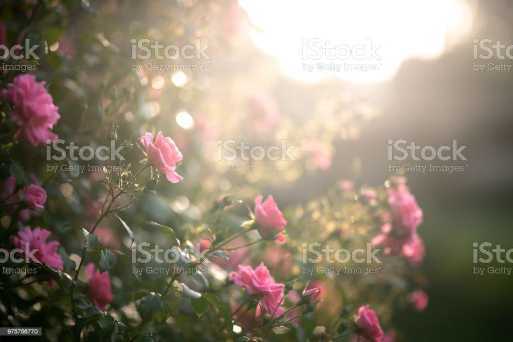 Rosa Rosen in den Morgen – Foto