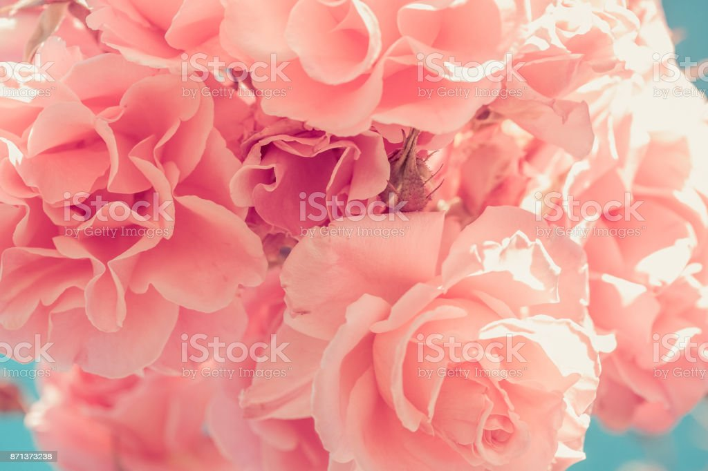 Pink roses in vintage color against summer sky and bokeh background stock photo