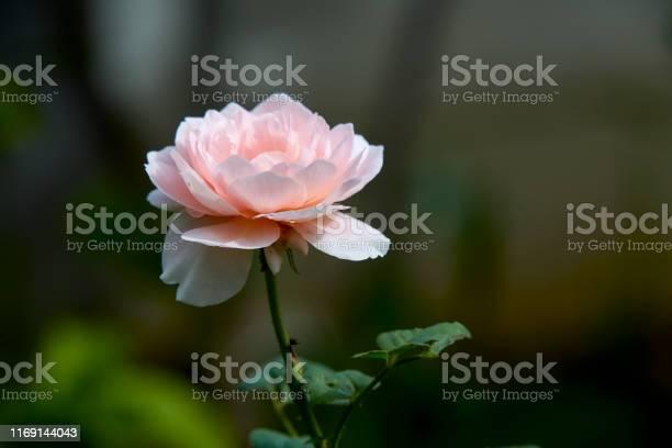 Pink roses on a green bush in garden summer picture id1169144043?b=1&k=6&m=1169144043&s=612x612&h=mnnua9xgvsu71dejw9gyoiran5i4zc48bo 0uylhs5u=