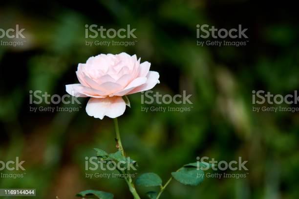 Pink roses on a green bush in garden summer picture id1169144044?b=1&k=6&m=1169144044&s=612x612&h=z wtooybm9fswwghjwadjno5rpawunnnjujhisc o2e=