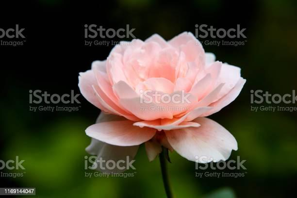 Pink roses on a green bush in garden summer picture id1169144047?b=1&k=6&m=1169144047&s=612x612&h=kf0hzflhgk6vdrwl6cn7vfdc70svkvjdtzcvbtb1sru=