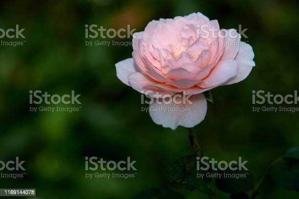 Pink roses on a green bush in garden summer picture id1169144078?b=1&k=6&m=1169144078&s=612x612&h=yv4qvwrcmffn4hqpjj3jq11hglhddmjmzkmxjjdtioy=