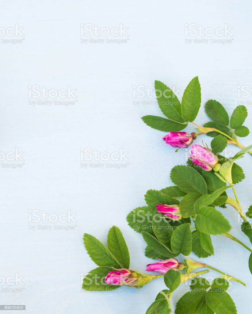 Pink Roses on an blue wooden background. Copy space royalty-free stock photo