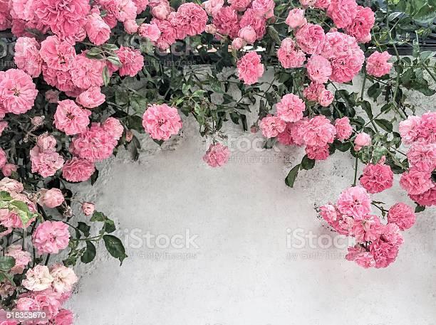 Pink roses on wall picture id518358670?b=1&k=6&m=518358670&s=612x612&h=yuyji8ehztrqhxvemvtpqeebdj2wwyx7jkt edhu29g=