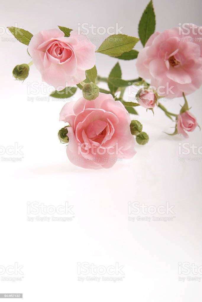 Pink roses on white background 1 royalty-free stock photo