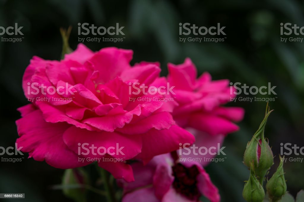 Pink roses outdoors foto stock royalty-free