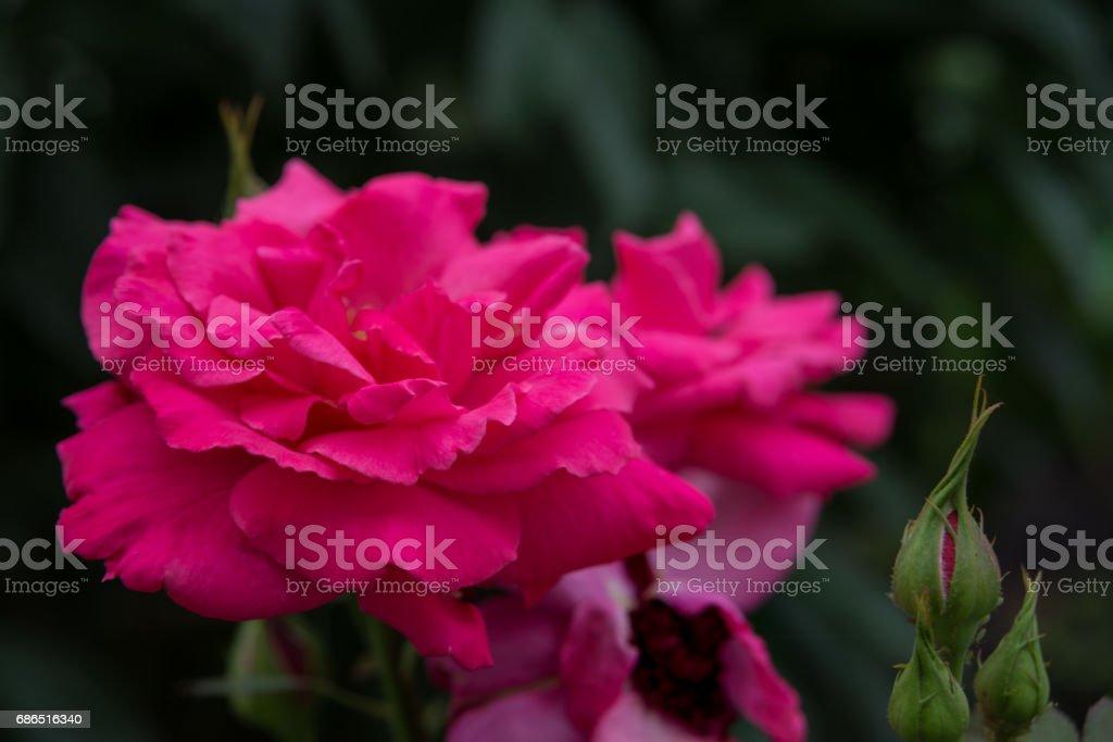 Roze rozen buitenshuis royalty free stockfoto