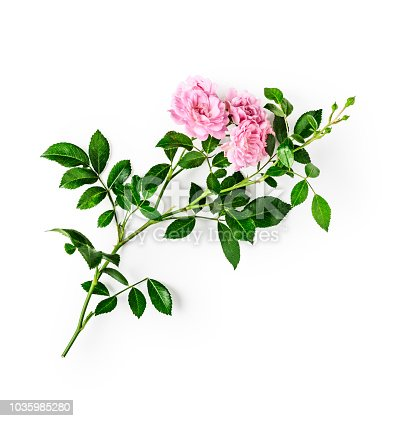 Pink rose flower with stem and leaves. Small climbing roses in summer garden. Single object isolated on white background clipping path included. Top view, flat lay. Design element