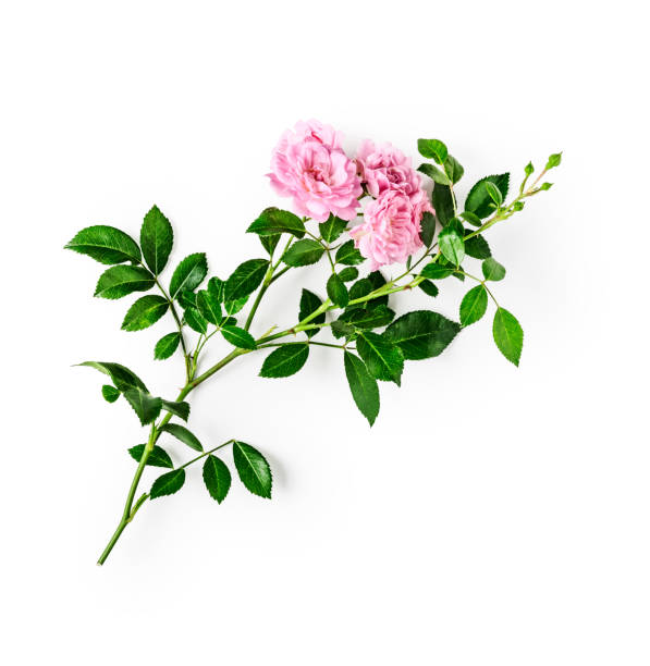 Pink roses Pink rose flower with stem and leaves. Small climbing roses in summer garden. Single object isolated on white background clipping path included. Top view, flat lay. Design element rose flower stock pictures, royalty-free photos & images