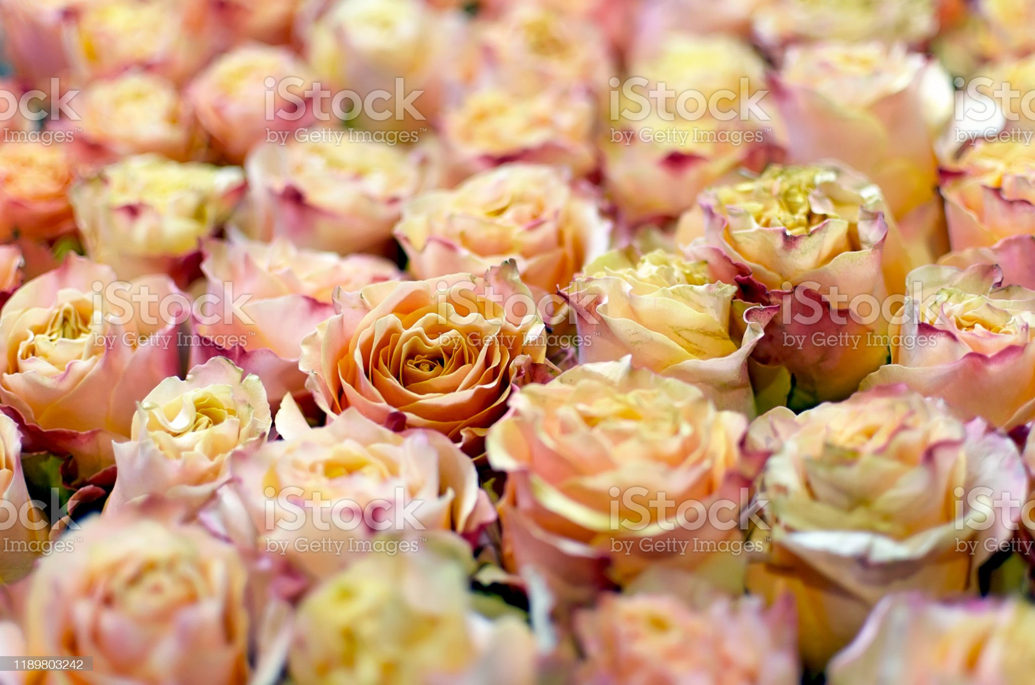 pink-roses-picture-id1189803242?s=2048x2