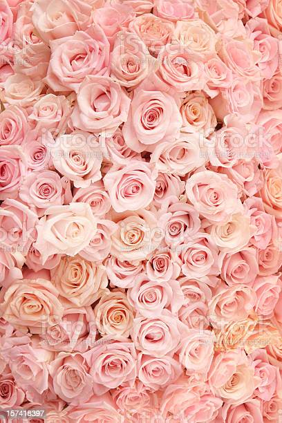 Pink roses picture id157418397?b=1&k=6&m=157418397&s=612x612&h=oriaze2s1aze3vmj5bkwzz vinxy74qelnv7dzzi25k=
