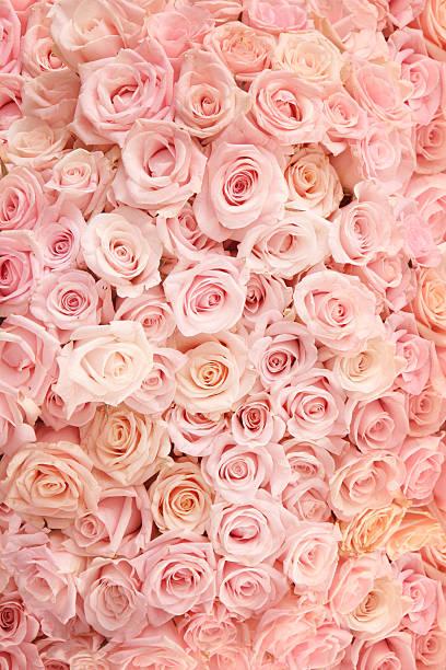 Pink roses picture id157418397?b=1&k=6&m=157418397&s=612x612&w=0&h=d1559bpvkaxb3vd54ovbb4eaexqs5wpi kedepreneq=
