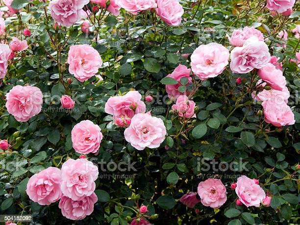 Pink roses picture id504182092?b=1&k=6&m=504182092&s=612x612&h=25d82gdp52lzoqftitskfrfujzlsulxqno0hocqq3ve=