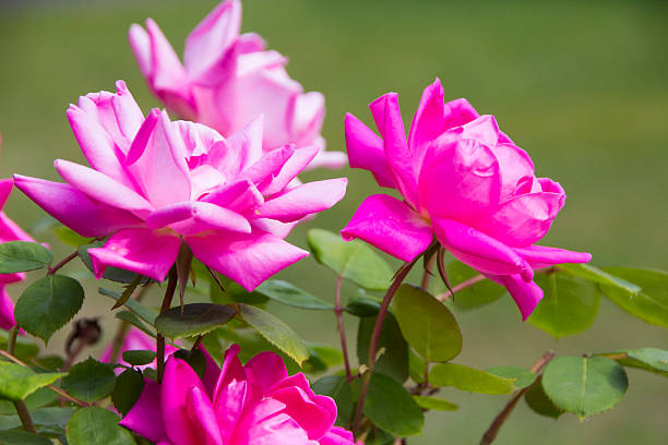 pink roses - spring stock photos and pictures