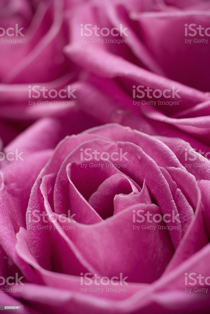Pink roses. royalty-free stock photo