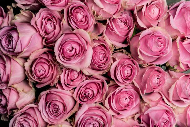 Pink roses picture id915839432?b=1&k=6&m=915839432&s=612x612&w=0&h=k3kppdpw3vf29wmknzlczxgsj1f  izqnnc6tdkipu0=