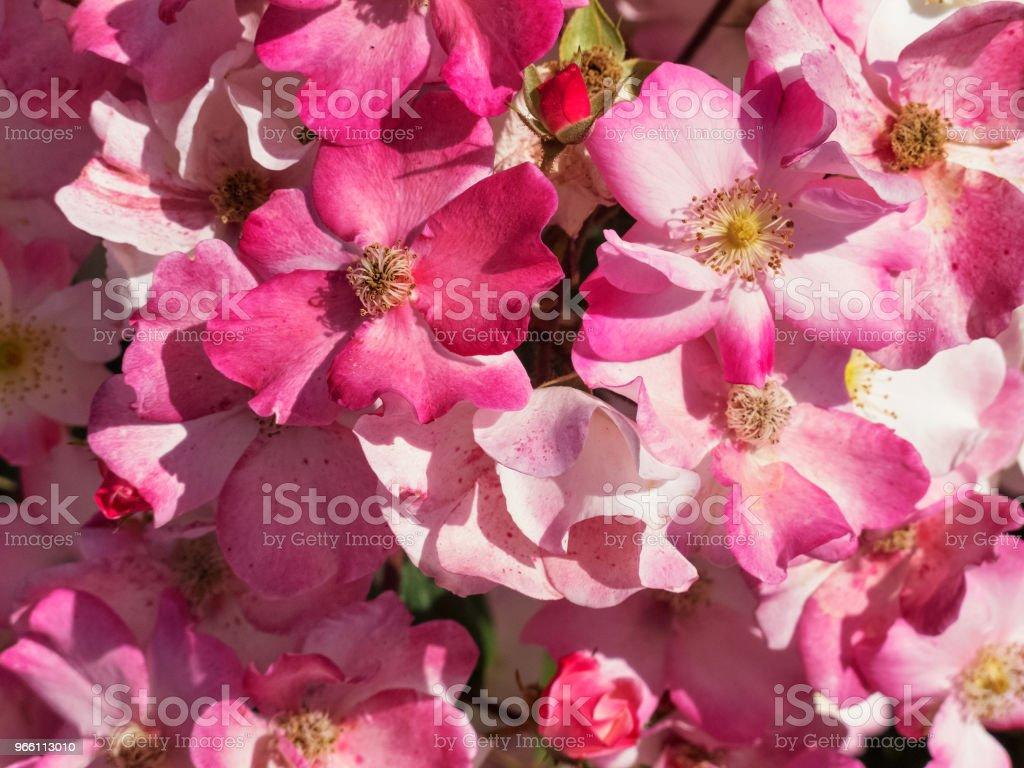 Roze rozen - Royalty-free Achtergrond - Thema Stockfoto