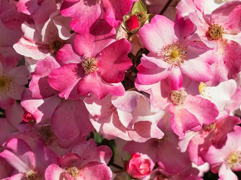 Roze Rozen Stockfoto en meer beelden van Achtergrond - Thema