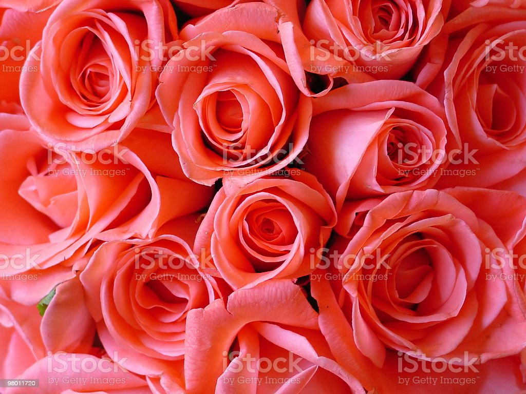 pink roses royalty free stockfoto