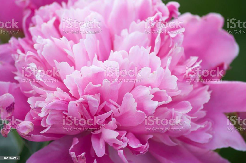 Pink Ruffled Peony, Paeonia Lactiflora stock photo