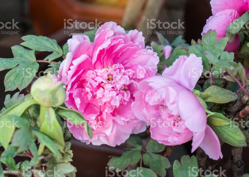 Pink ruffled peony stock photo