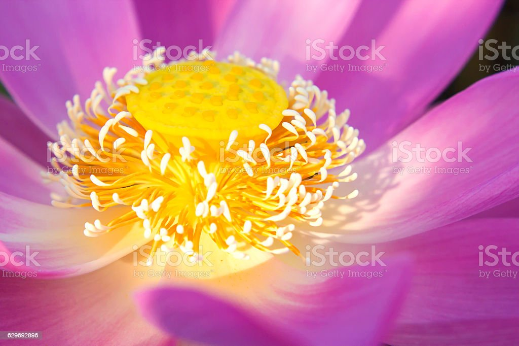 Pink Sacred Lotus (Nelumbo nucifera) blossom and leaves in lake stock photo