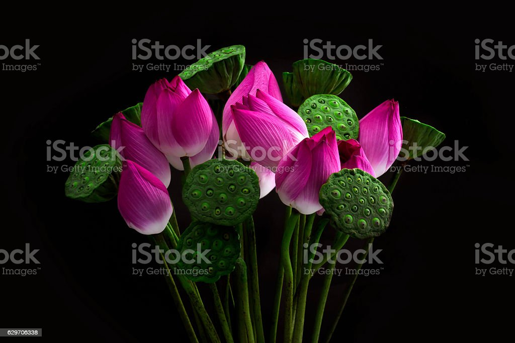 Pink Sacred Lotus (Nelumbo nucifera) blossom  on black background stock photo