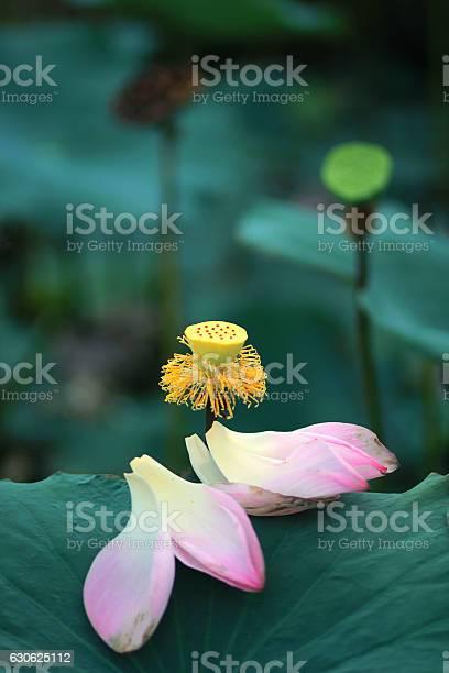 Pink sacred lotus falling petals picture id630625112?b=1&k=6&m=630625112&s=612x612&h=dvqbg8j3gs6yfezfhajy3lcyc90vstomf6dhtnrxtfe=