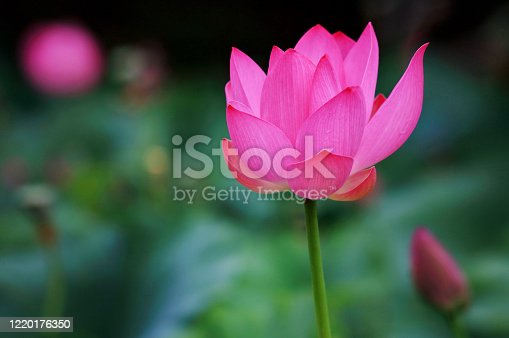 Species of perennial herbaceous amphibians from the genus Lotus (Nelumbo) of the monotypic family Lotus (Nelumbonaceae).