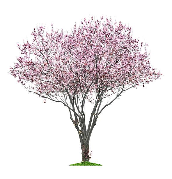 ピンク sacura ツリー ストックフォト