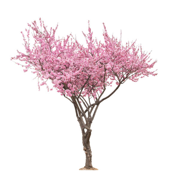 pink sacura tree - blossom stock photos and pictures
