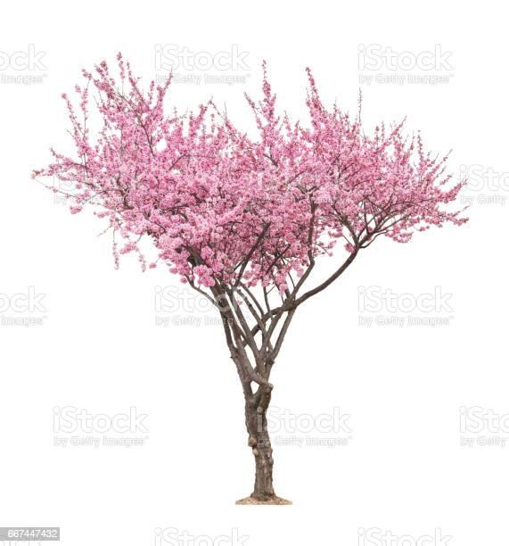 Photo of pink sacura tree